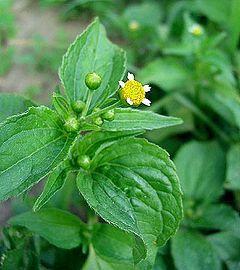 Żółtlica drobnokwiatowa: zdjęcie