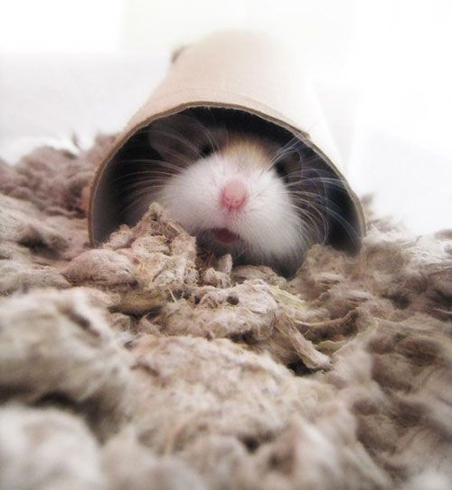 This little guy loves burrowing in toilet rolls just as much as all of our small and furries!