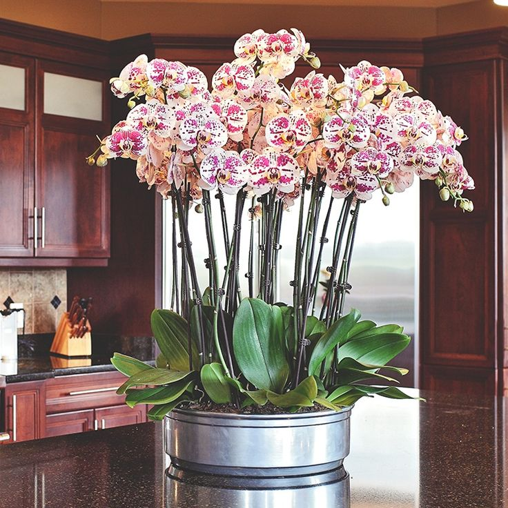 Dress up your orchid with these beautiful Phalaenopsis orchid arrangement ideas.