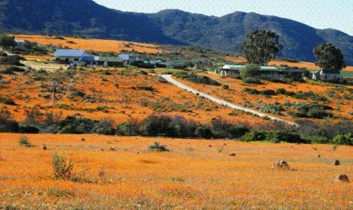Namakwaland blomme Suid Afrika