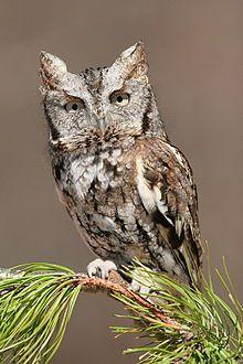 Eastern Screech Owl - Wikipedia, the free encyclopedia     Sounds: http://www.youtube.com/watch?v=0Mc1vL1s7KU