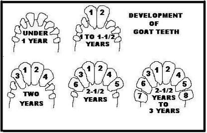 How to tell the age of goats by their teeth