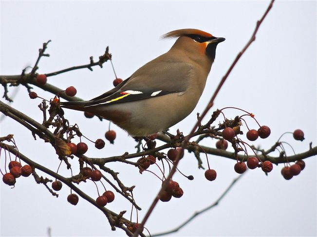 Picturesque Port Perry: the Bohemian Waxwing