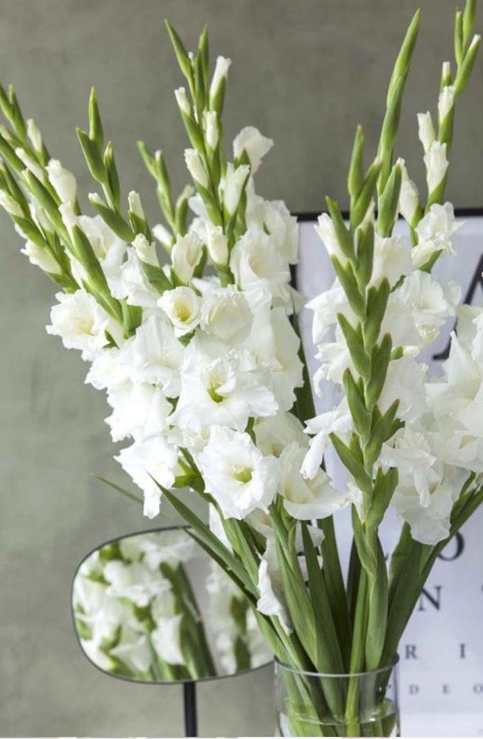 Gladioler ~ Gladiolus-hybrider