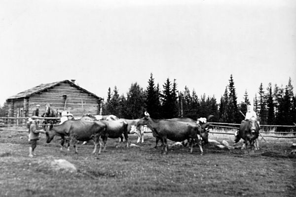 Finnish cows