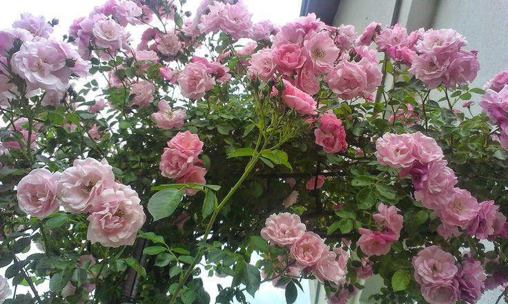 NAŠE ZAHRADY: Popínavé růže. Růže nekvete opakovaně. Velmi mrazu...