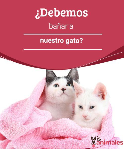 ¿Debemos bañar a nuestro gato?  Hay mitos de que los gatos odian el agua o que no necesitan bañarse, debido al aseo personal que ellos mismos realizan. pero Debemos bañar a nuestro gato?