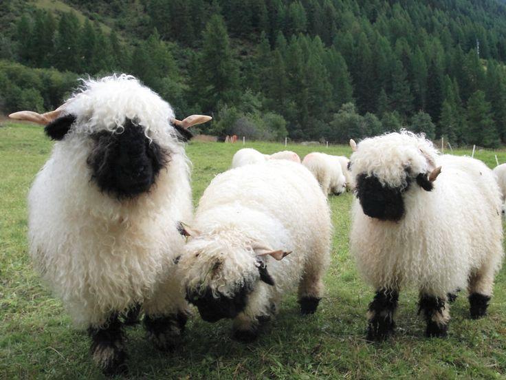 Fuzzy blacknose sheep