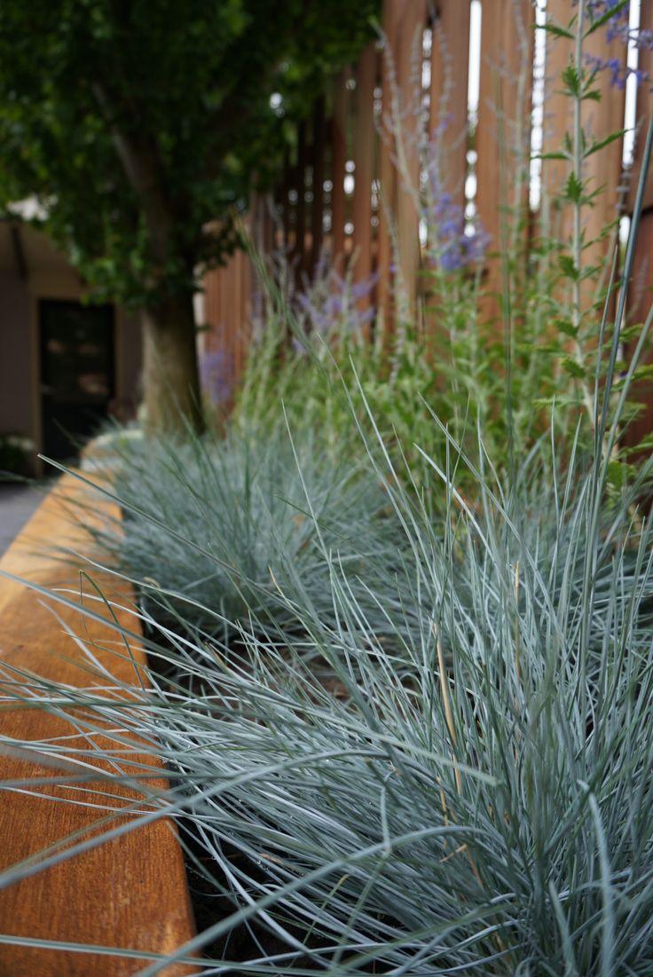 Blue dune lyme grass - Festuca Intense Blue