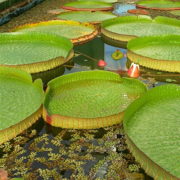 Ninfee e piante acquatiche per un giardino colorato  www.perugiaflowershow.com