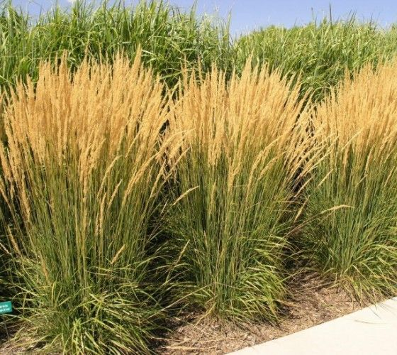 Best 25 feather reed grass ideas on pinterest tall for Tall feather grass