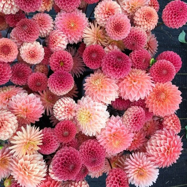 Kristine Albrecht Santacruzdahlias Instagram Photos And Videos Dahlia Flower Garden Growing Dahlias Dahlia