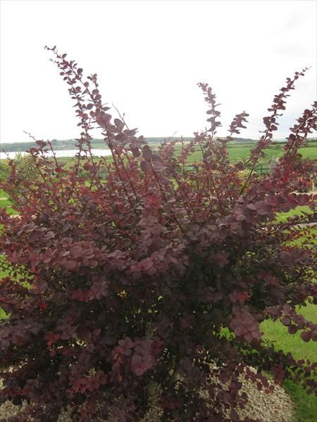 Barberry - Berberis Thunbergii Atropurpurea (Potted)