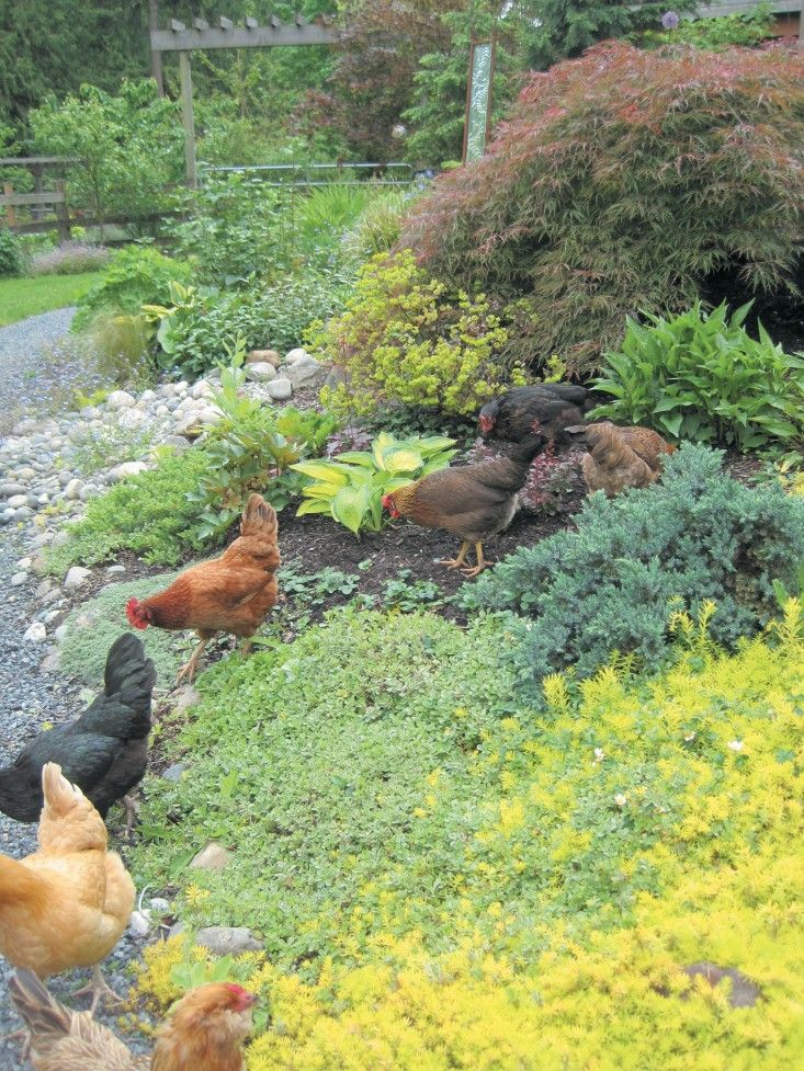 A backyard flock forages in a garden's ground cover. Bloom recommends dense evergreen ground cover like Japanese spurge, ground raspberry, and cotonester. (From Free-Range Chicken Gardens by Jessi Bloom.