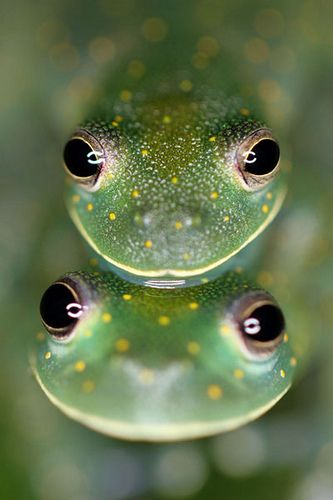 Cochranella Albomaculata: A Species of Frog - Photographed in El Valle, Panama.  By: Brad Wilson.