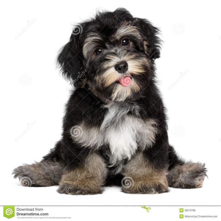 5d83f3d896f722fe9307683283fb21a9 royalty free stock photos havanese puppies
