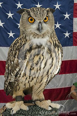 Great horned owls are a large species of true owls that inhabit many areas of North and South America. These raptors are nocturnal and hunt mammals, other birds, reptiles and amphibians.