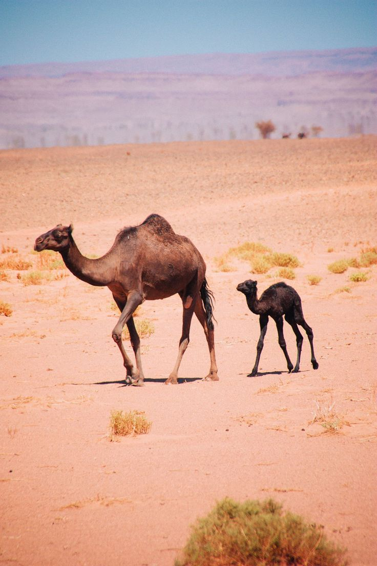 Newborn baby camel - free camels in the Sahara desert - nomad camels