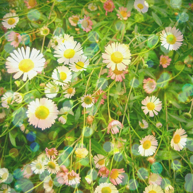 daisies by cassia beck