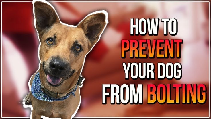 HOW TO PREVENT YOUR DOG FROM BOLTING