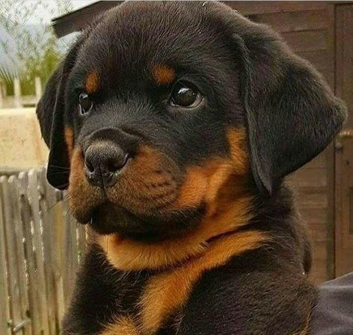 how adorable!!! #rottweiler