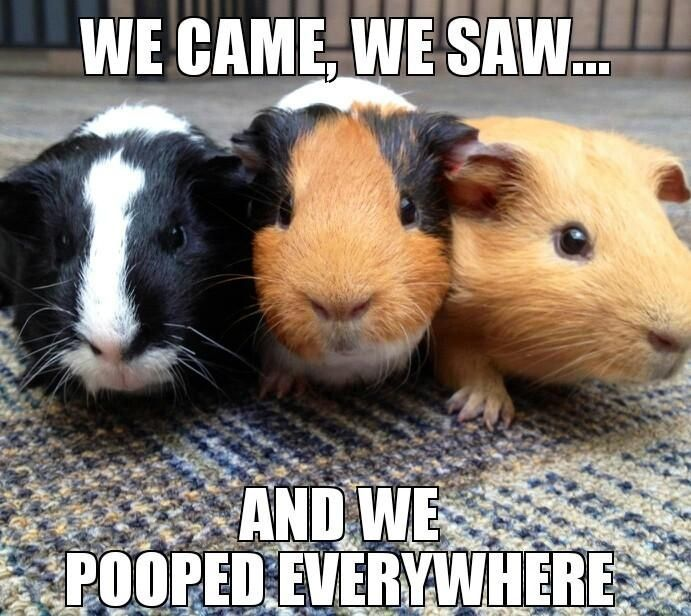 """We came, we saw, and we pooped everywhere.""  The cute little guinea pigs are telling it like it is."