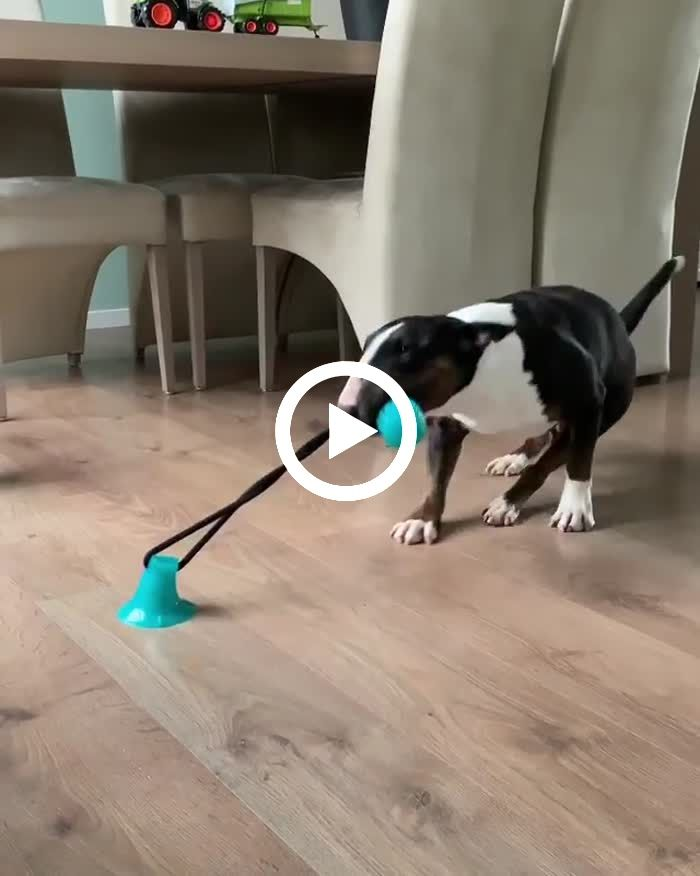 Bull Terrier Dog Plays With Suction Toy Stuck To Floor Bull