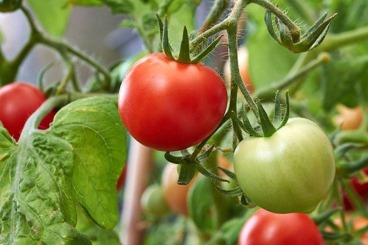 5 простых способов, которые помогут помидорным кустам выложиться на 100%