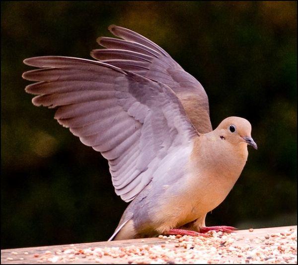 Elegant Dove