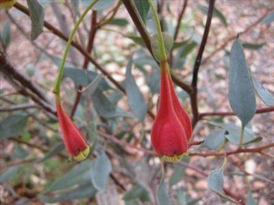 Eucalyptus forrestiana • Australian Native Plants • Plants • 800.701.6517