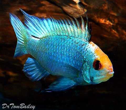 Best 25 cichlid fish ideas on pinterest tropical fish for African cichlid fish