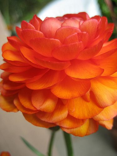 2012 hot color - It's an orange hue! Ranunculus