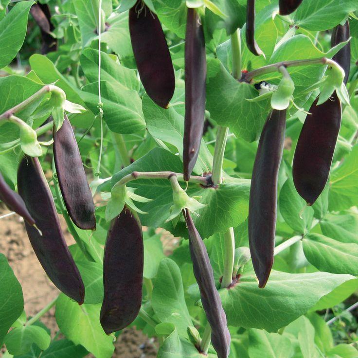 Pea Shiraz - Purple Podded - Mangetout or fresh peas - 180 seeds - vegetable | eBay, with beautiful flower https://roofinlondon.files.wordpress.com/2014/07/pea-shiraz-2014-7-2-3.jpg