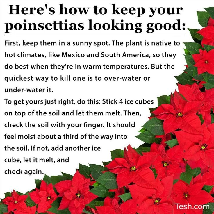 179 Best Images About Plants Poinsettia On Pinterest