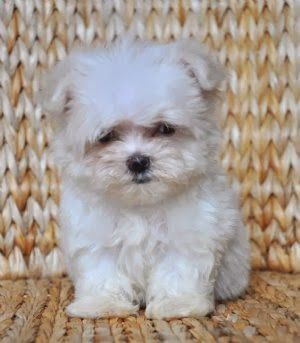 Top 5 Smallest dog breeds :)   THIS LOOKS LIKE MY BABY WHEN SHE WAS LITTLE * * SHE IS ALMOST 15 YRS. NOW♥♥♥