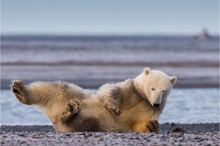 Patty foi ao Alasca fotografar os ursos polares e não encontrou neve | P3