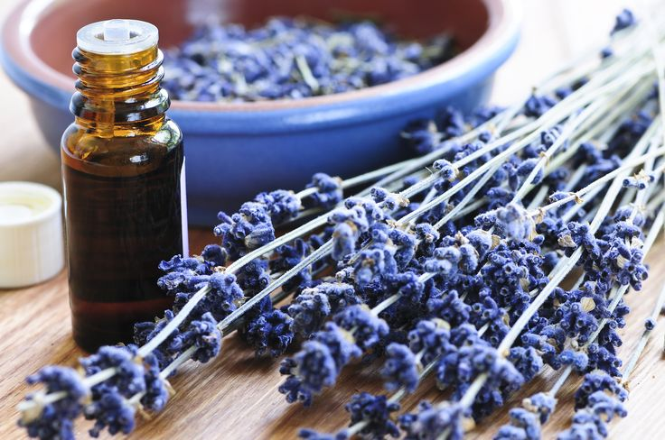 Lavender - an essential oil for treating spider bites.