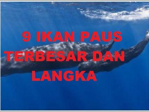 9 Ikan Paus Terbesar, Ikan paus langka dunia, Ikan Paus adalah ikan mamalia terbesar dilautan. Banyak sekali jenis dari ikan paus ini di berbagai belahan