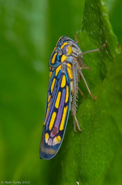 colorful leaf hopper by - photo #16