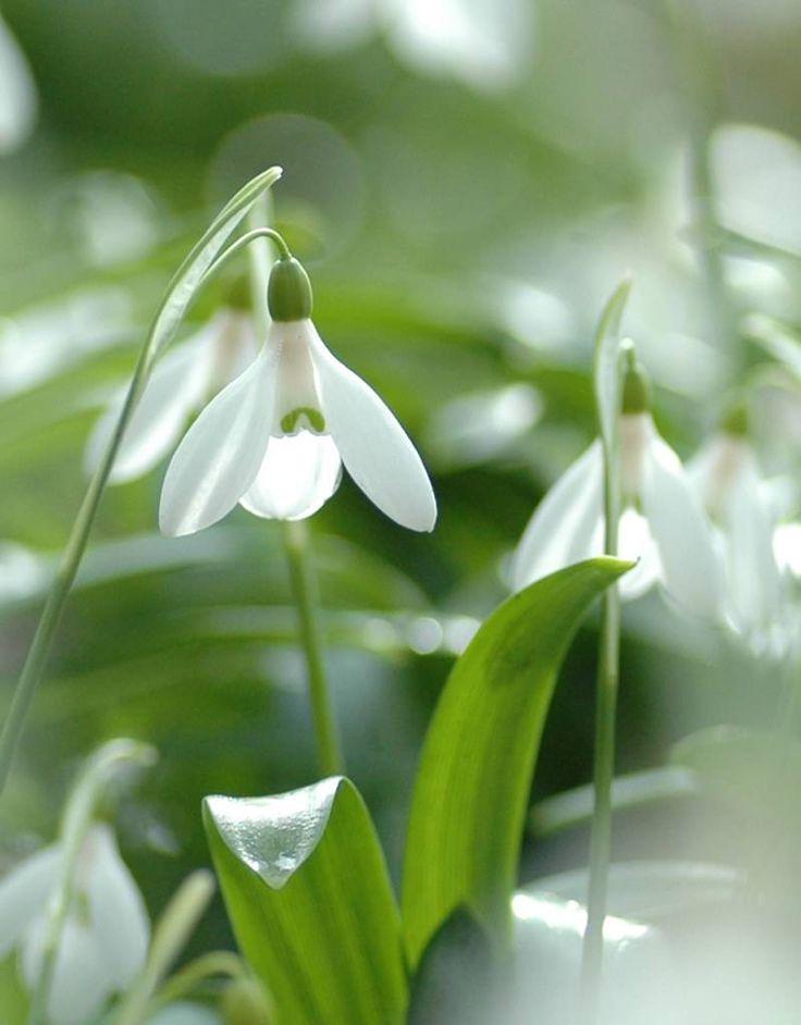 Koop bloembollen van Galanthus woronowii (Glanzend Sneeuwklokje). Het glanzend sneeuwklokje bloeit met witte bloemen tussen glanzend loof. Stinzenplant.