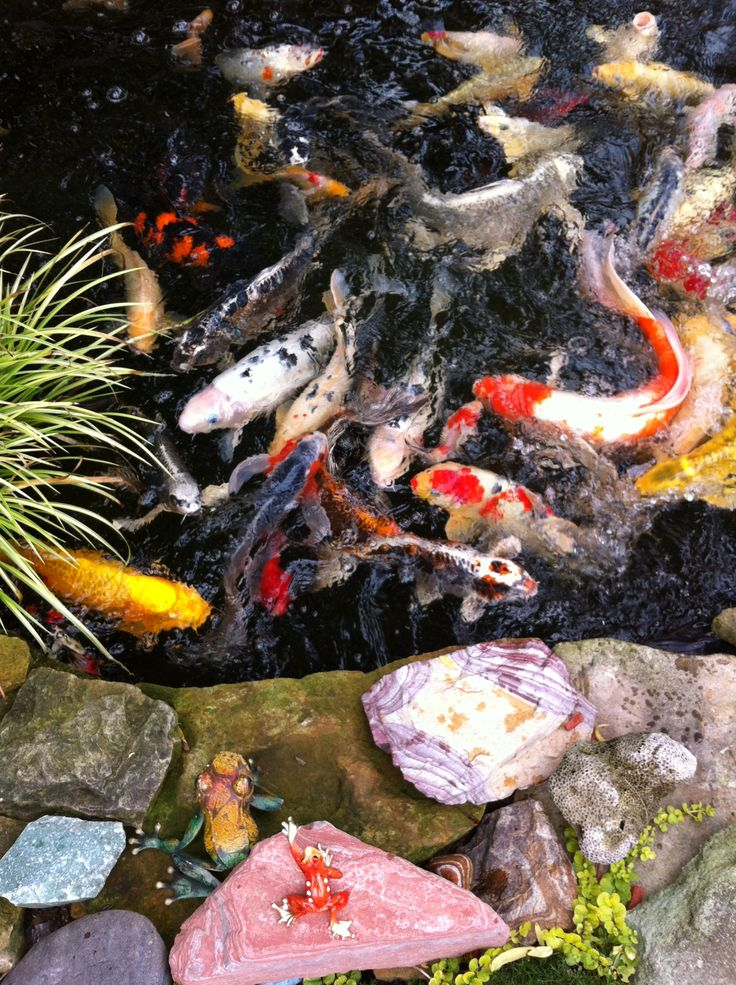 17 best images about koi on pinterest japanese koi for How much are koi fish worth