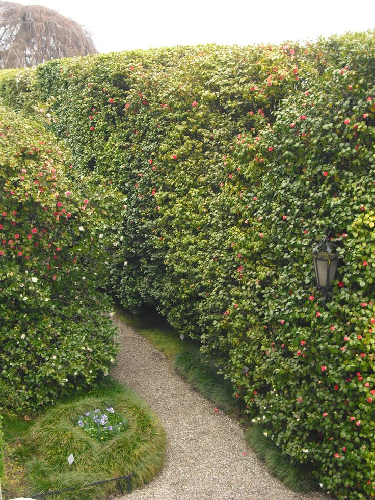 Evergreen Camellia hedges pruned into geometrical shape at the entrance of villa Carlotta