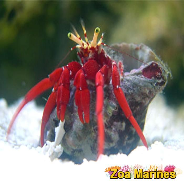 Red Leg Hermit Crabs Stunning Corals Http Www Zoamarines Co Uk Acan Frag Reefkeeping Frags Coralfrag Mar Hermit Crab Saltwater Tank Marine Aquarium