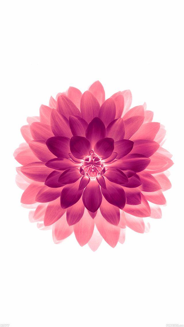 freeios8.com - ad77-apple-red-on-white-lotus-iphone6-plus-ios8-flower - http://goo.gl/hnFdCt - iPhone, iPad, iOS8, Parallax wallpapers