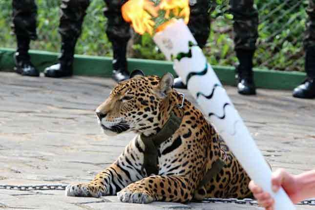 OMG! Amazon jaguar shot dead after Olympic torch ceremony