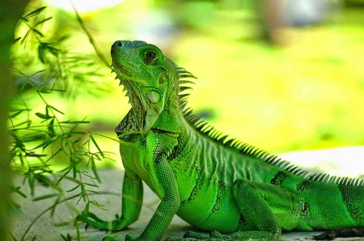 Tüskés hátu szalamander