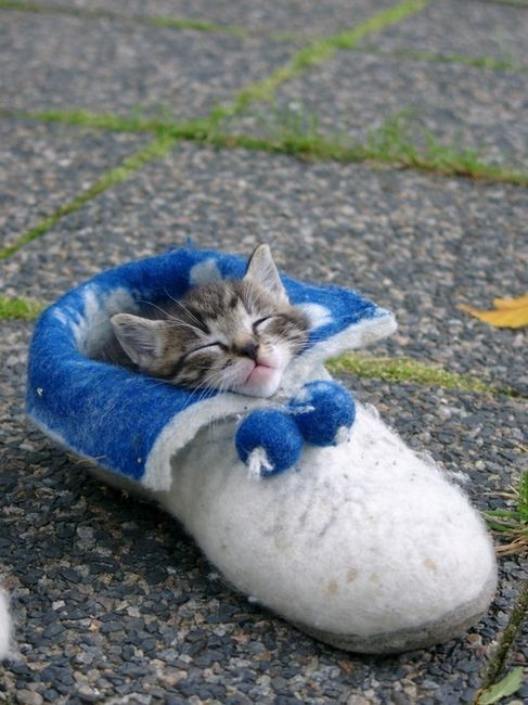 via tumblr: Shoes, Sleep Bags, So Cute, Pet, Hilarious Photo, Naps Time, Kittens, Sweet Dreams, Baby Cat