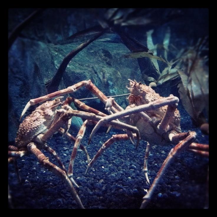Clash of the Crabians!!
