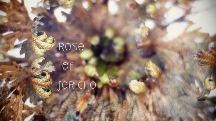 Rose von Jericho im Zeitraffer - http://www.dravenstales.ch/rose-von-jericho-im-zeitraffer/