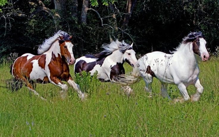 running horses .......  love paint horses